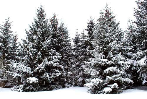 Was wäre Weihnachten ohne Tannenbäume? | Foto: Bilderrampe.de
